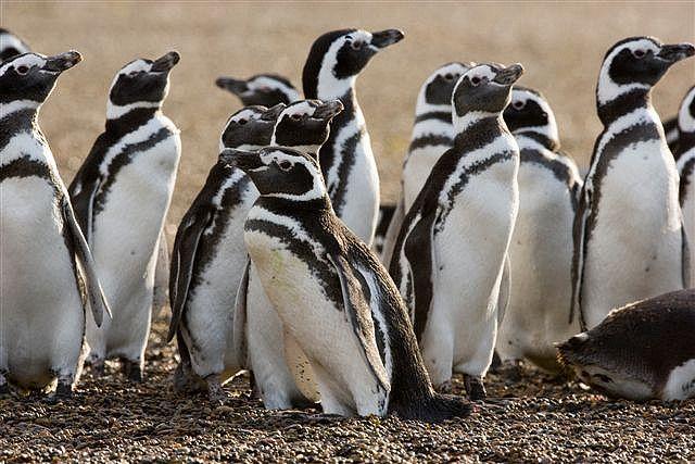 Animales En Peligro De Extinción Pingüino De Magallanes Wattpad