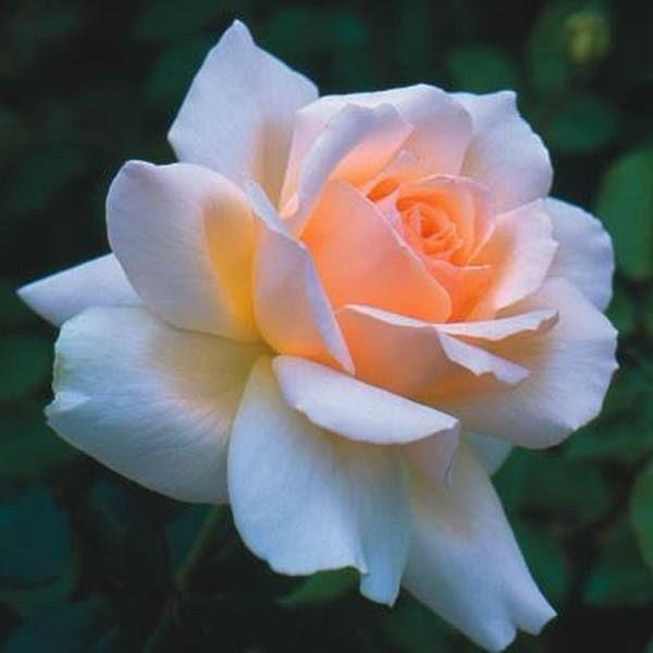 rózsa rák