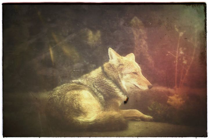 A coyote soul and guardian of Caleb Havard