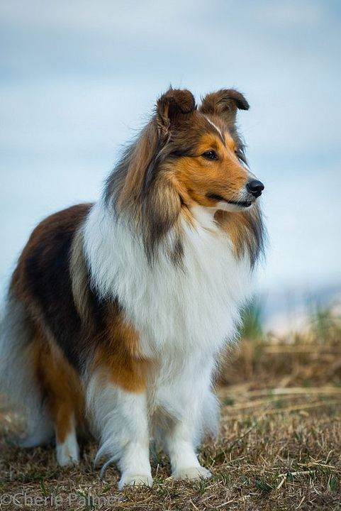 Skinwalker Form• He's A Shetland Sheepdog he looks like this except he has blue eyes and he's not that big he's pretty small in dog form, He usually smells like blue berry pie in his dog form he doesn't know why