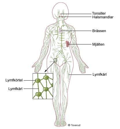 Tarmkäxet är bukhinneveck som innehåller kärl och nerver och som fäster tarmen vid bakre bukväggen