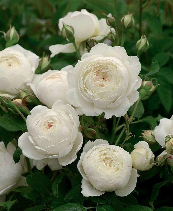 rózsa rák)