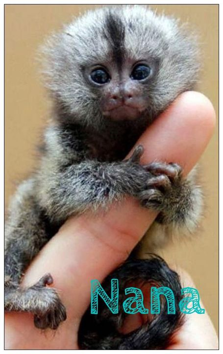 I opened the box and took out the small finger monkey and handed it to the wide eyed girl