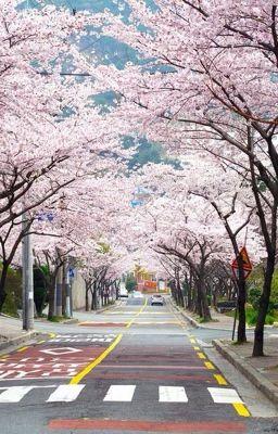SOONHOON | Tháng Ba có hoa anh đào nở