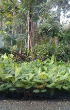 WA +62 823-2773-2765, Jual bibit pisang kepok kultur jaringan kabupaten sukabumi by jualbibitpisang10