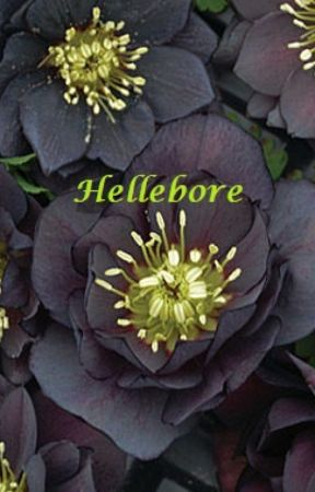 Hellebore by Skylinger