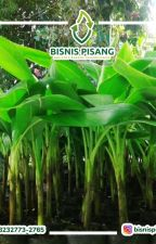 WA 0823-2773-2765 Jualbibit pisang ambon hijau by adwhydi