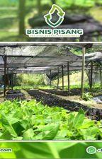 WA 0823-2773-2765 Suplier bibit pisang raja temen by rehansaputra02