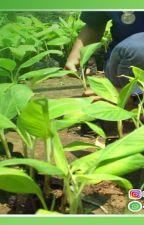 WA 0823-2773-2765 Suplier bibit pisang raja jogja by rehansaputra02