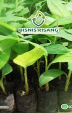 WA 0823-2773-2765 Suplier bibit pisang raja sewu by rehansaputra02