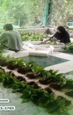 WA 0823-2773-2765 Suplier bibit pisang raja sleman by rehansaputra02