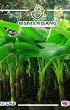 WA 0823-2773-2765 Suplier bibit pisang raja yogyakarta by rehansaputra02