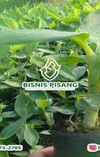 WA 0823-2773-2765 Suplier bibit pisang raja unggul by rehansaputra02