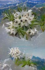 Edelweiss by ahchuuz
