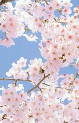 ( Tuyển ) Sakura Team