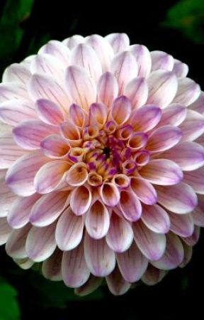 The Politician's Girl by Strangeoutcast
