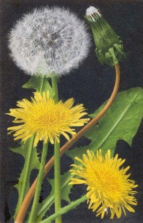 dandelion.  by eyelezz
