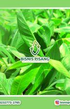 +62 823-2773-2765 Pusat bibit pisang raja bulu kuning kultur jaringan Rembang by santiayu05