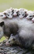 Opossum (Vačice Opossum) od Vali_popcorn