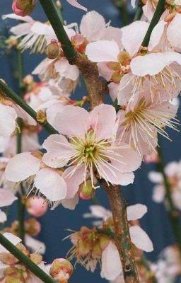 [ TR x Reader ] - Apricot Flower