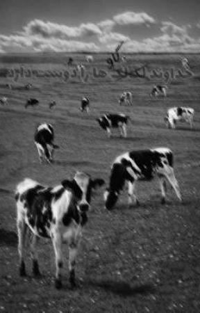 خداوند گاو ها را دوست دارد by Kimiyatolkien