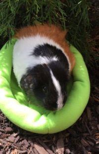 Warrior Guinea Pigs: Scarlett Tidings cover