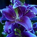 LilyLavenderBlossom