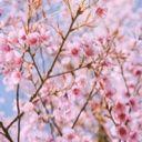 Pink_Cherry_Blossom_