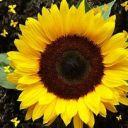 SunflowerPlanter