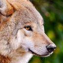 imalonewolf03