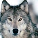 moonlight__wolf
