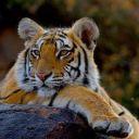 tigre42